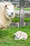 Sheep with just born lamb in spring Royalty Free Stock Photography