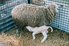 The sheep gave birth to a small lamb royalty free stock photo
