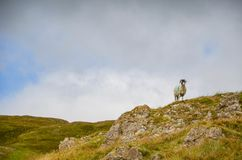 Sheep King of the Hill royalty free stock photography