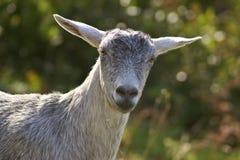 Sheep at La Palma. A sheep seen at La Palma stock images
