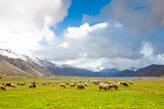 Sheep at Lago del Matese Stock Photo