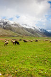 Sheep at Lago del Matese Stock Photography