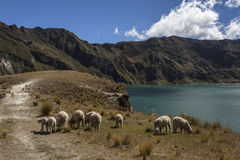 Sheep in the lagoon Quilotoa Royalty Free Stock Photos