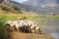 Sheep by lake Stock Photos