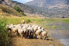 Sheep by lake. Sheep following a man by lake Stock Photos