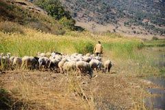 Sheep by lake Royalty Free Stock Photos