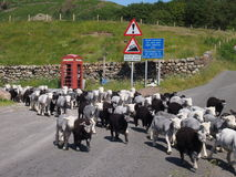 Herd of Sheep in Lake District Stock Photos