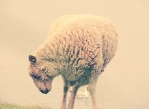 Sheep. By the lake in purple color Stock Photography