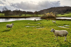 Sheep by a lake in the Winster Valley, Cumbria. Stock Image