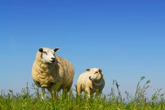 Sheep with lamb Stock Photo