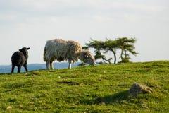 Sheep and Lamb Stock Images