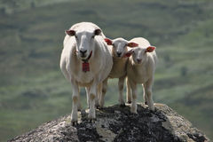 Sheep and lamb. On rock Stock Photo