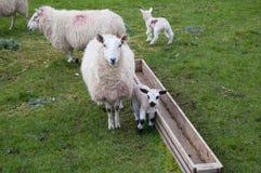 Sheep and lamb. Sheep and young lamb beside a feeding trough royalty free stock images