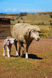 Sheep with lamb. A female wool sheep with a young little lamb walking on the farm outdoors Royalty Free Stock Images