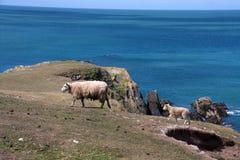 Sheep and lamb Royalty Free Stock Images