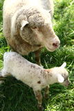 Sheep and lamb. Sheep with her few days old lamb on a pasture Stock Photography