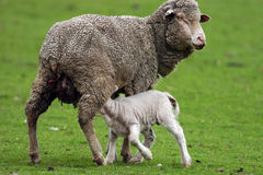 Sheep and Lamb. A baby lamb sucks on the mother sheep for milk Stock Photography