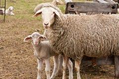 Sheep and lamb Royalty Free Stock Photography