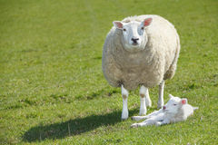 Sheep and lamb royalty free stock photography