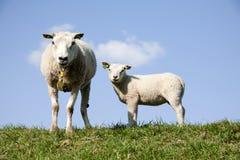 Sheep and lamb Royalty Free Stock Photo