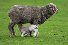 Sheep and Lamb 2. A baby lamb sucks on mother sheep for milk Stock Photo