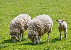 Sheep with lamb. Livestock in field Stock Photos