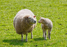 Sheep and lamb Stock Photos