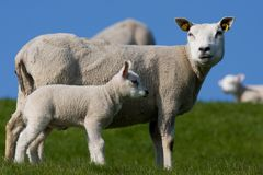 Sheep with a lamb. Curious sheep protecting his little lamb Royalty Free Stock Images