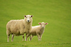 Sheep and lamb. Mother sheep with her lamb on green grass Stock Photos