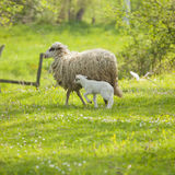 Sheep and lamb. On green field in spring Stock Photography