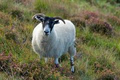 Sheep, lamb. Meadow, scottish highlands stock photos