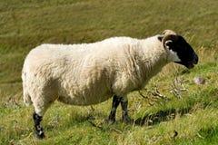 Sheep, lamb. In scottish highlands royalty free stock image