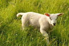 Sheep Lamb Stock Photo