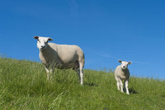 Sheep with lamb. Sheep with her lamb on a dutch dike Royalty Free Stock Photography