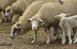 Sheep lamb Royalty Free Stock Photos
