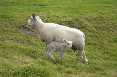 Sheep with lamb Stock Images