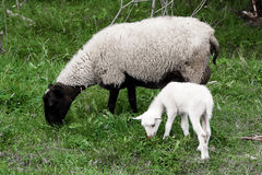 Sheep  lamb. A sheep (ewe) and white lamb (yeanling, eanling, cade) pasturing on a meadow with green grass as a background Stock Photo
