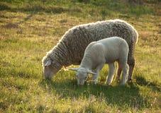 Sheep and lamb. Sheep and its lamb on the pasture Stock Image