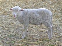 Sheep lamb. Young small white sheep lamb Stock Images