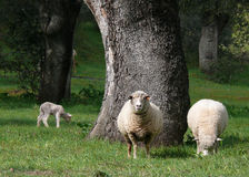 Sheep and lamb. In a field with oaks stock photography