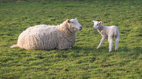 Sheep and lamb. Young spring lamb and mother in field stock photo