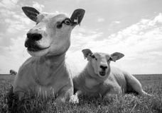 Sheep with lamb. Sheep and lamb resting in a field, in b&w Stock Photo