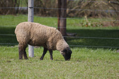 Sheep or Lamb Royalty Free Stock Images