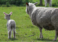 Sheep and lamb. Looking away from camera Stock Images