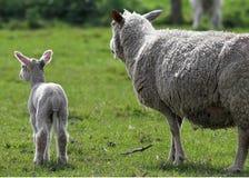 Sheep and lamb. Looking away from camera stock images