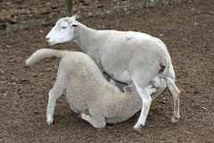 Sheep Lamb Stock Photo