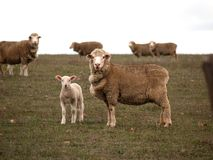 Sheep and lamb. A mother sheep with her lamb stands by it and protects it from harm Stock Image