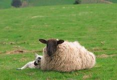 Sheep and Lamb. Mother sheep and sleeping baby lamb Royalty Free Stock Image