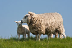 Sheep with lamb. In the Netherlands stock photos