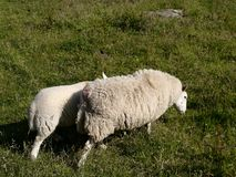 Sheep with lamb alongside and behind Stock Images